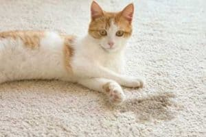 How to Clean Dried Cat Urine From Carpet? 6 Steps