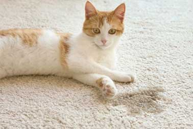 Read more about the article How to Clean Dried Cat Urine from Carpet? 6 Steps