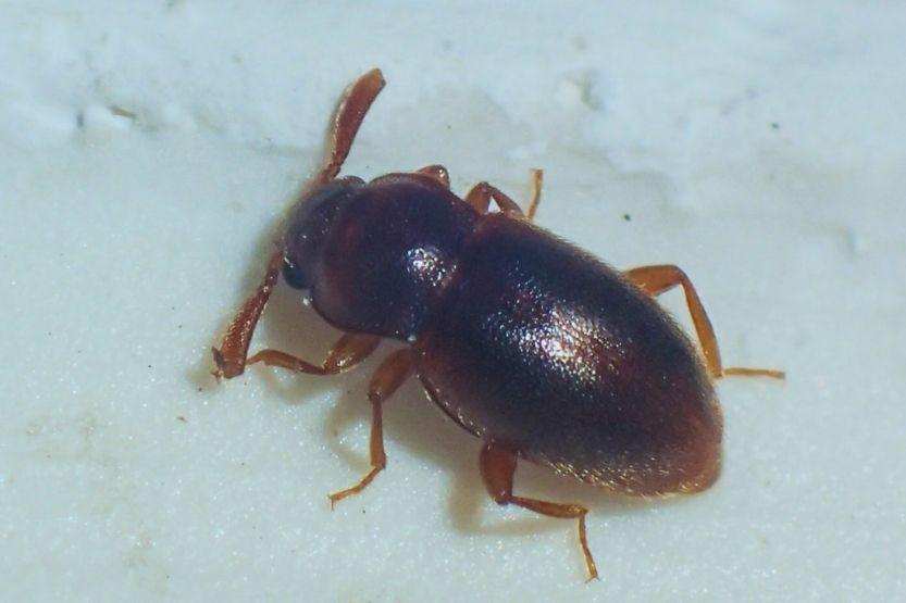 tiny black bugs in bathroom no wings